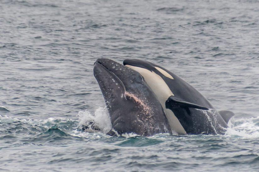 Killer of Whales