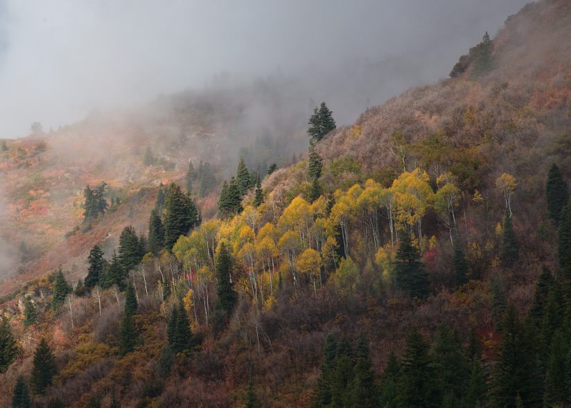 Aspens in the Fog.