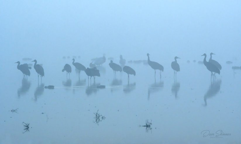 Foggy Morning Cranes