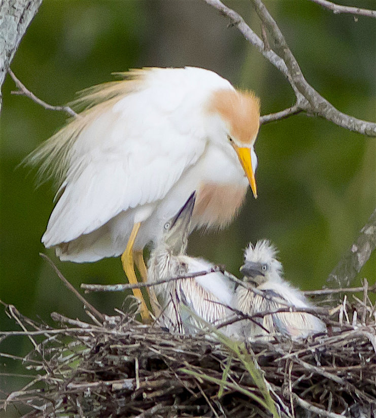 Cattle Egret family