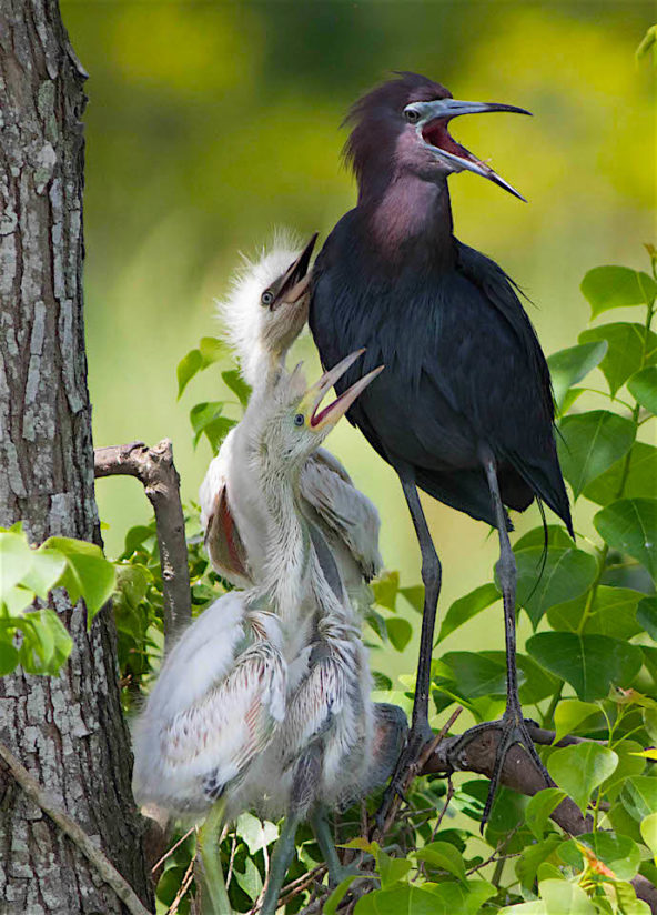 Little Blue Heron family