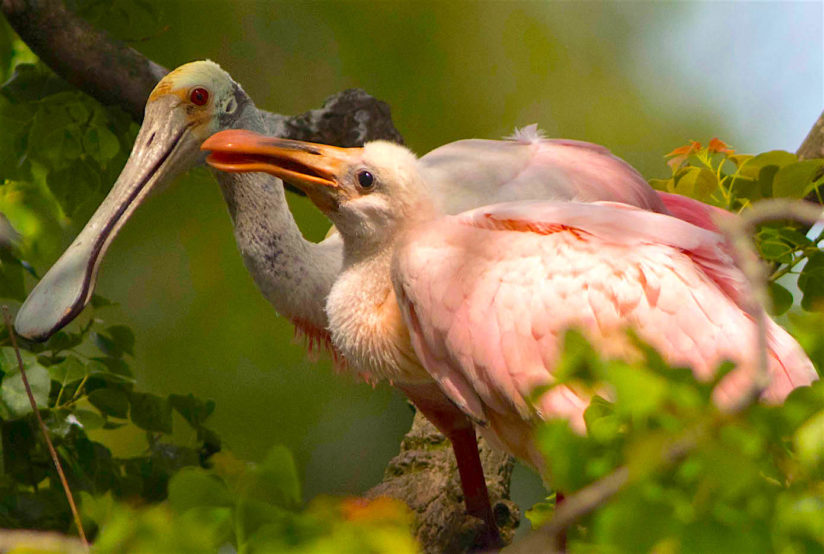 Roseate Spoonbill & chick