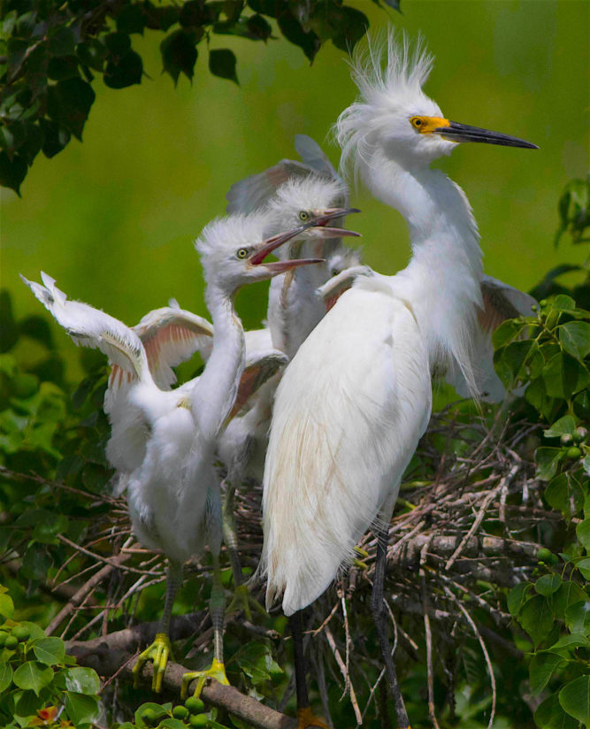 Snowy Egret & chicks