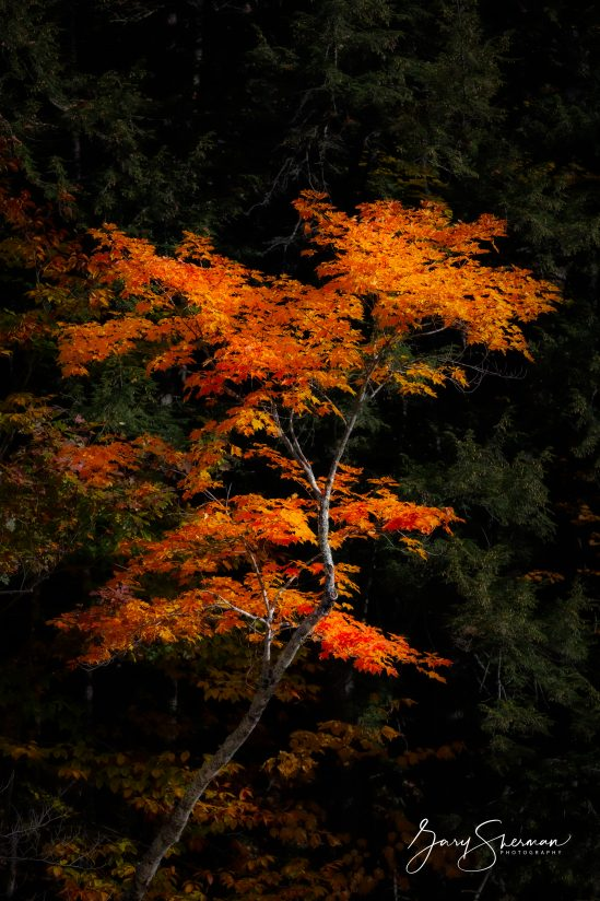 Mad River Maple