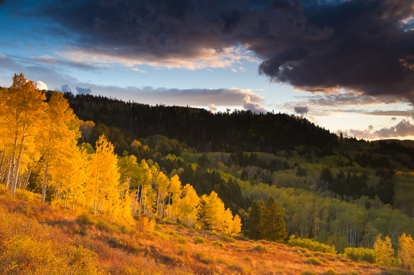 Aspen trees Sunset