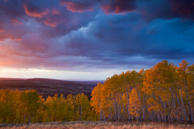 Aspen trees Sunset II