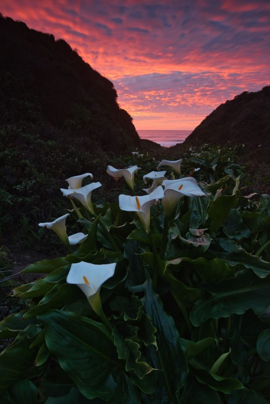 Lilies of the coast