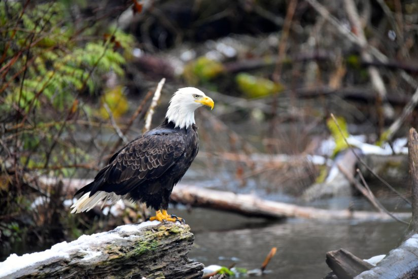 Goldstream Eagle.