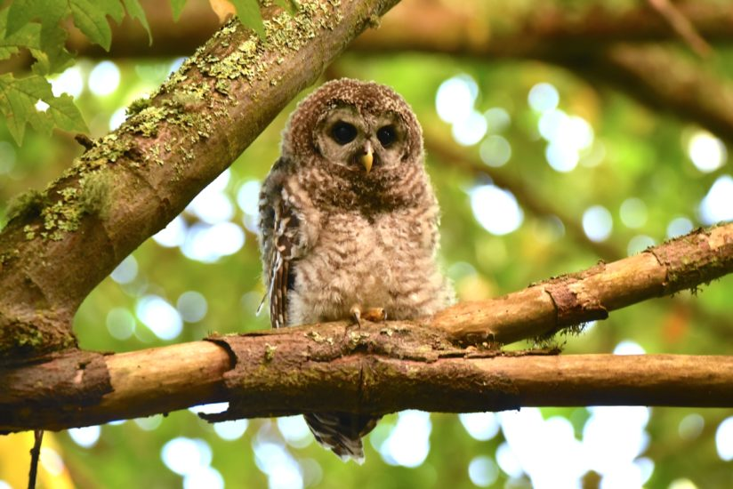 Baby Barred Owl.