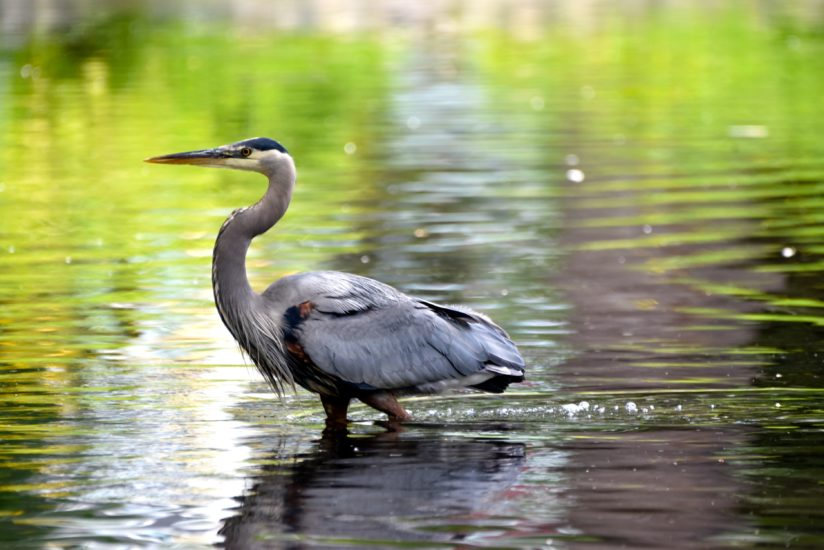 Heron in the pond.