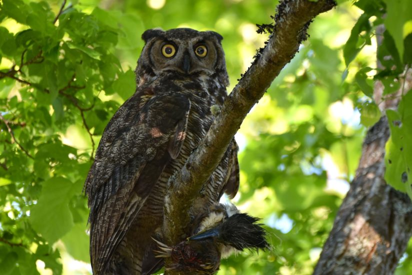 Great Horned Owl.