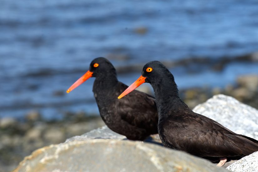 Oyster Catchers.