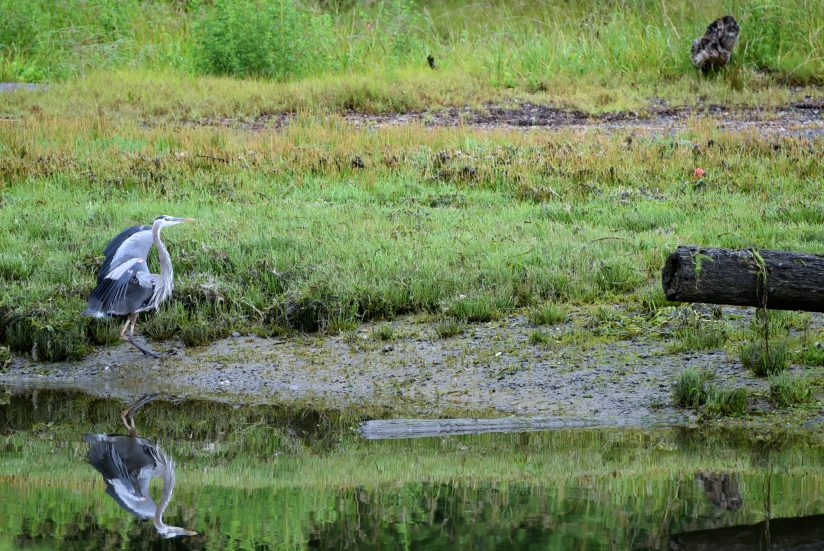 Great Blue Heron reflected.