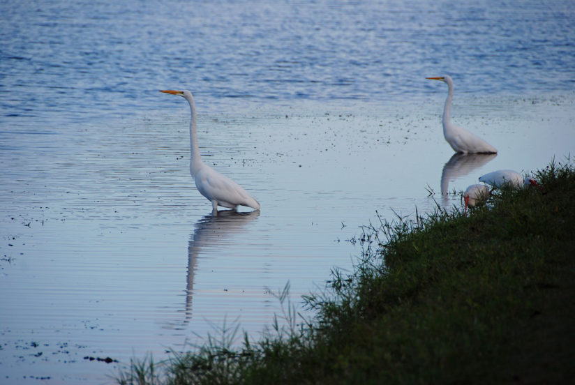 Blue Water Egrets