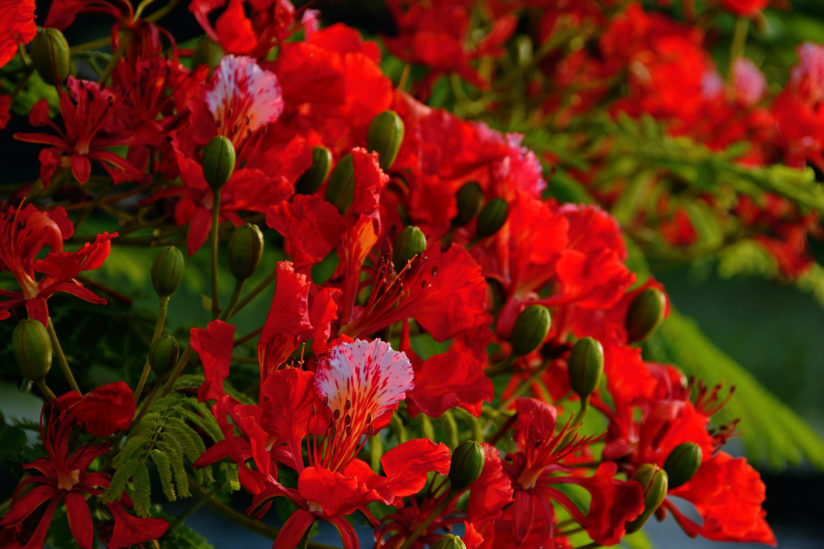 Poinciana Bouquet