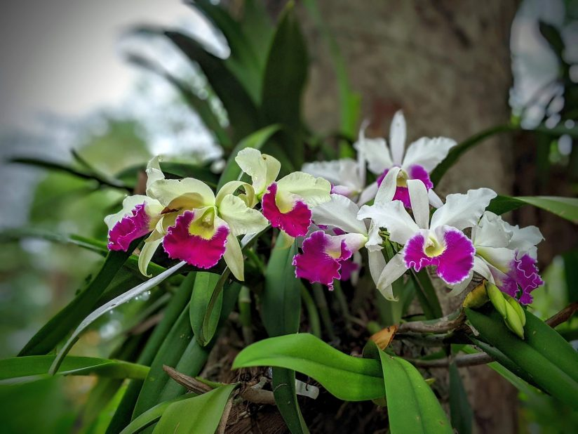 Orchids On The Oak Tree