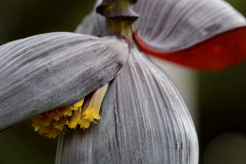 Ornamental Banana Flower Closeup
