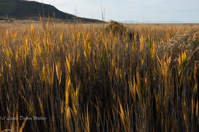 Golden Grasses, Antelope Island