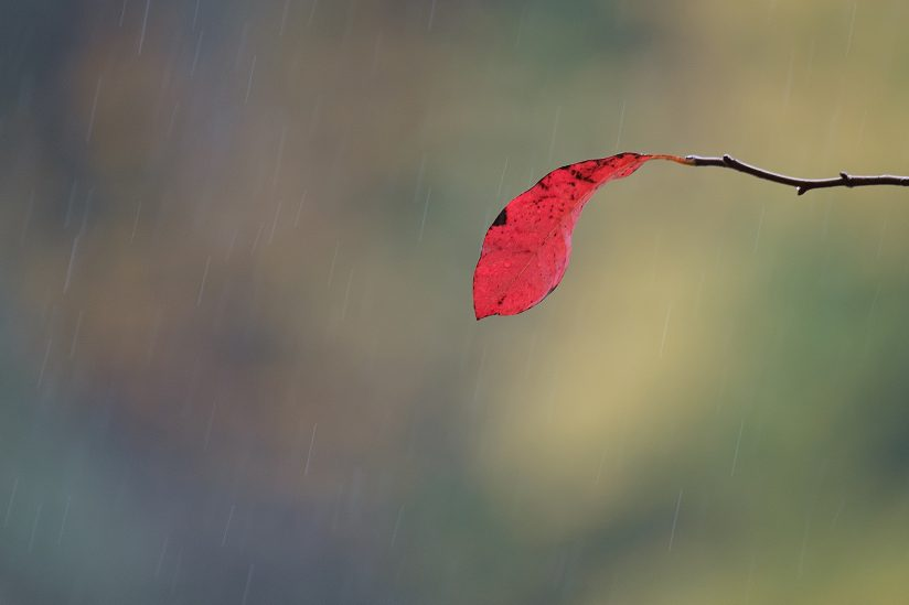 Autumn leaf in rain