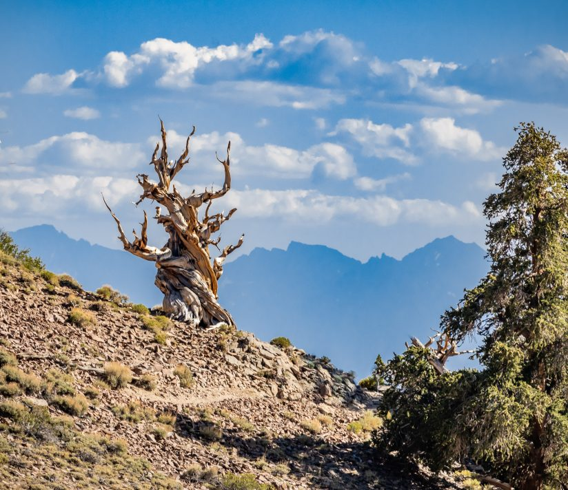 Ancient Bristlecone pine Tree With A Sierra Nevada in the Background