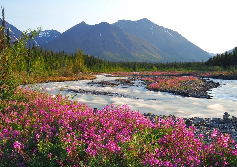 Quill Creek Fireweed