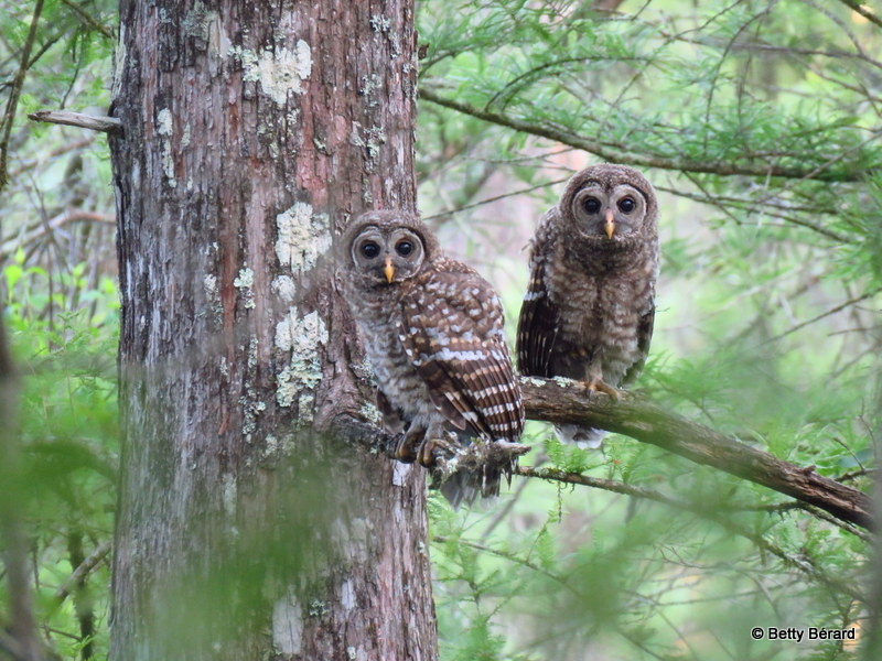 Barred Owl Siblings