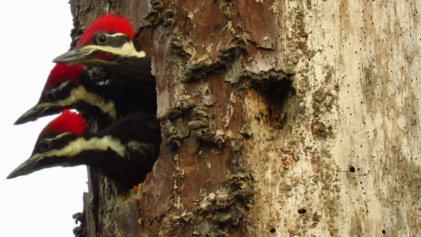 Pileated Woodpecker Siblings