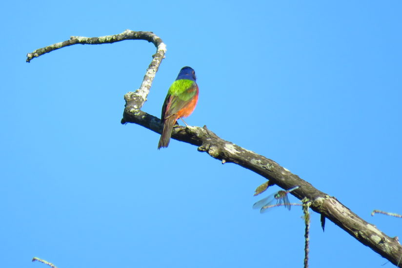 Painted Bunting & Dragonfly