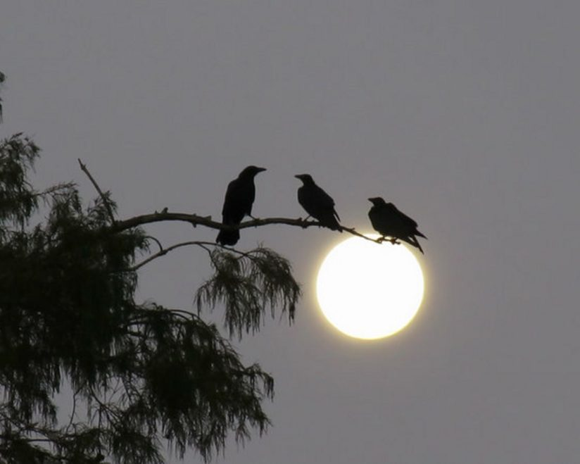 Crows Gathering on the Moon