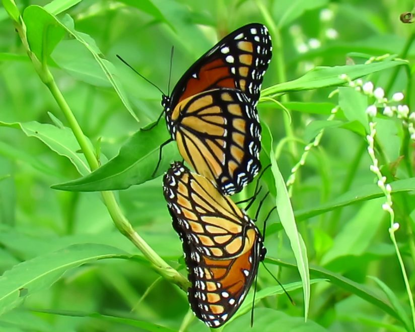 Mating Viceroy Butterflies