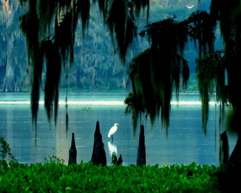 Great White Egret/ Spanish Moss/ Cypress Knees
