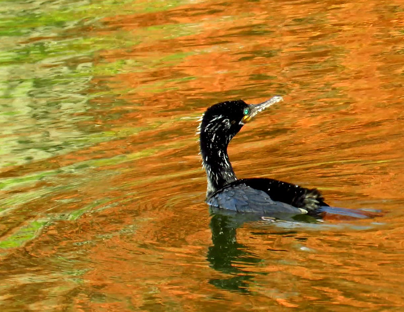 Cormorant Swimming in Fall Colors