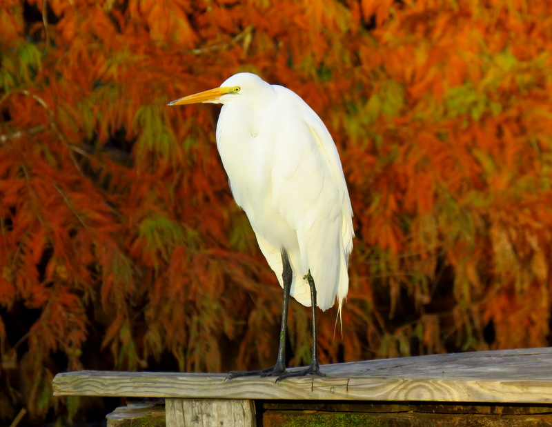 Great White Egret & Fall Foliage