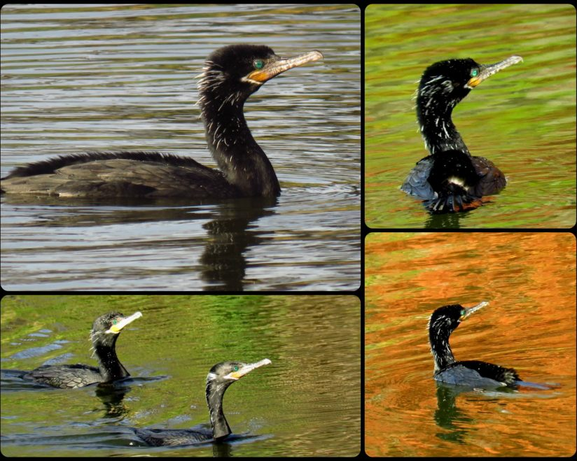 Cormorant Collage