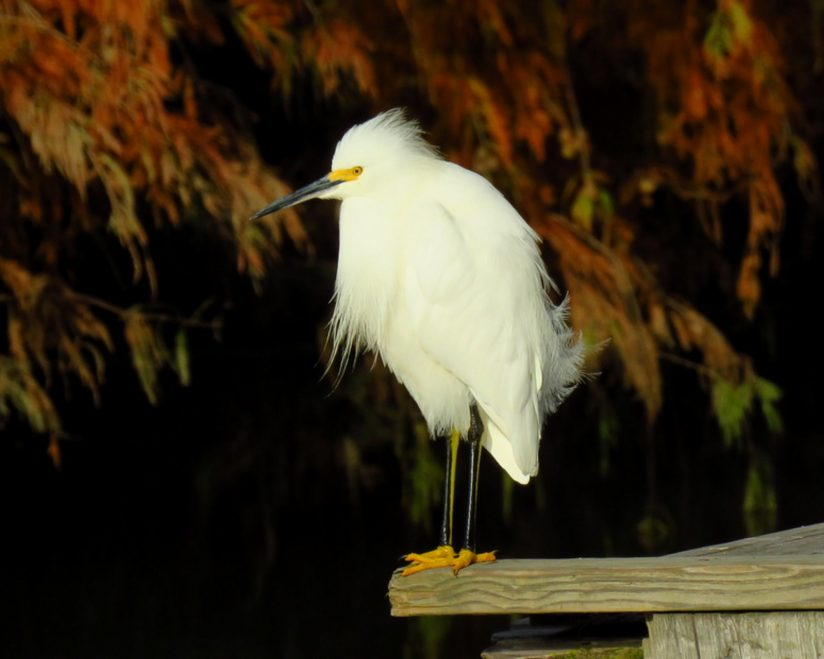Snowy Egret Showing off his Fall colors