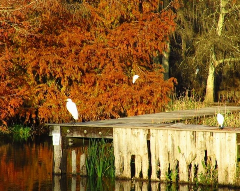 Great White & Snowy Egrets & Fall Foliage