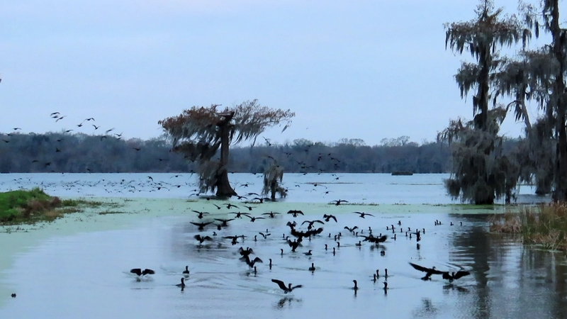 Early Morning Gathering of Cormorants