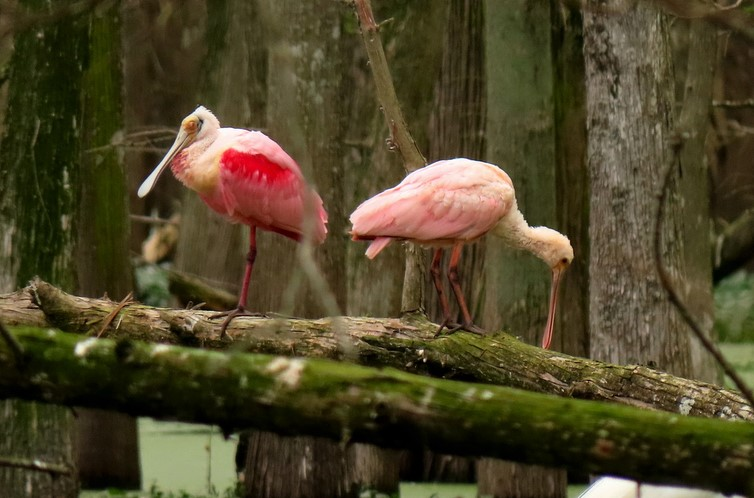 Roseate Spoonbill parent & youngster