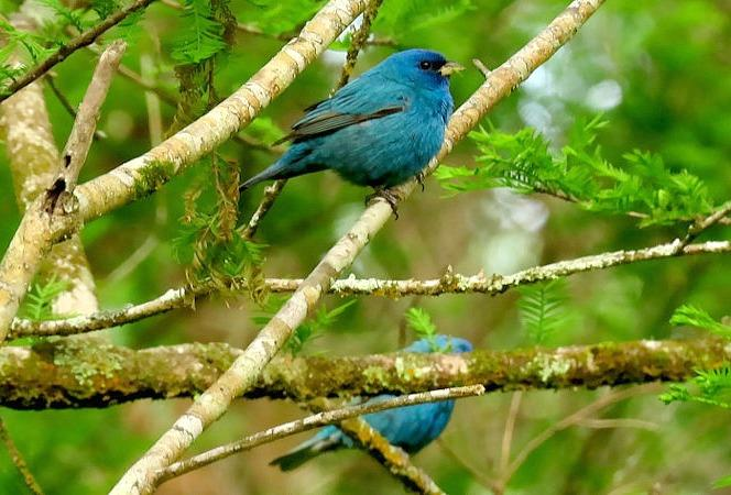 Male Indigo Buntings
