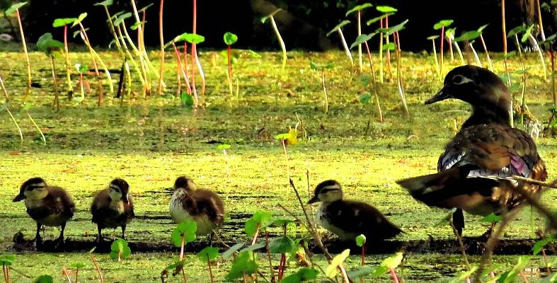 Female WoodDuck & 4 of her 7 Babies