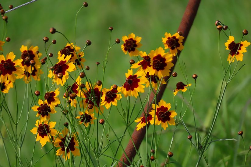Wildflowers–Coreopsis