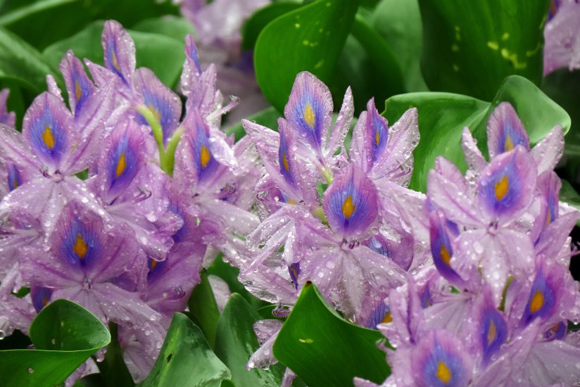Rainy Day, Water Hyacinths