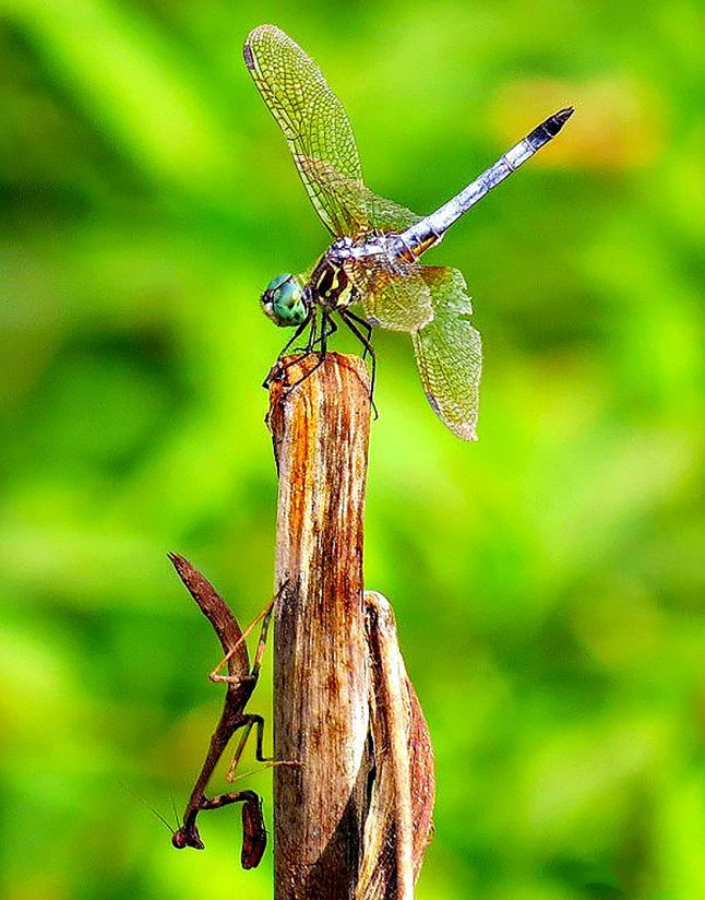 Dragonfly & Praying Mantis