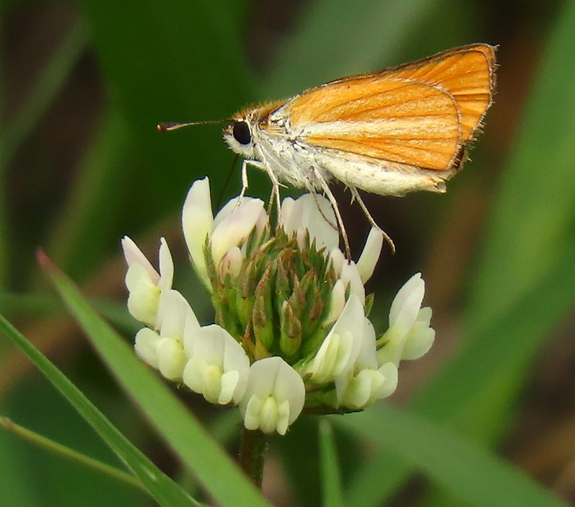 Tiny Skipper on Clover