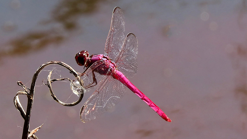 Roseate Skimmer–Pink Dragonfly