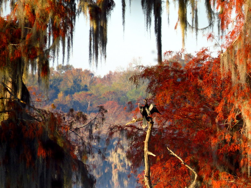 Anhinga Framed by Cypress & Spanish Moss
