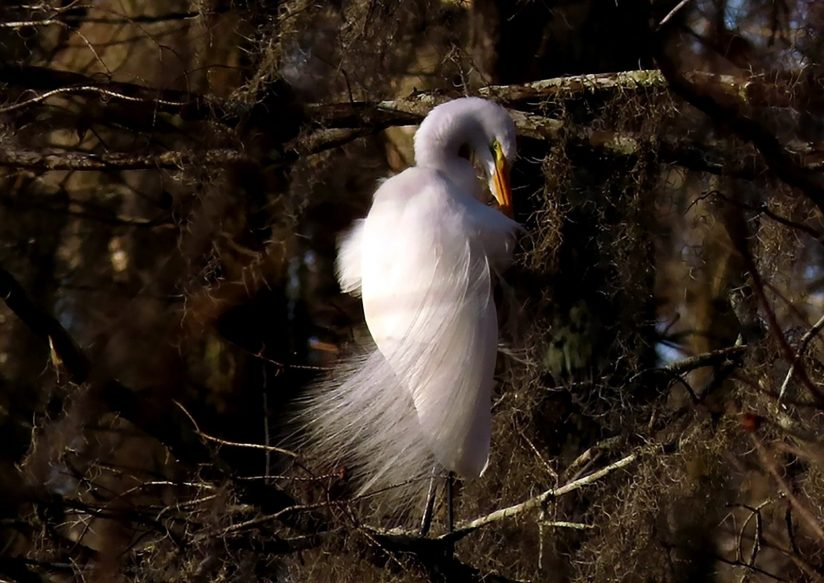 Preening Great White Egret