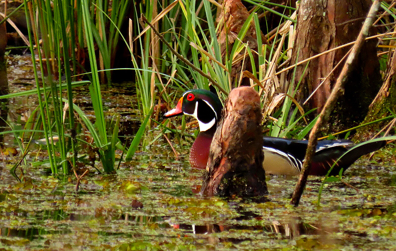 Male Woodduck
