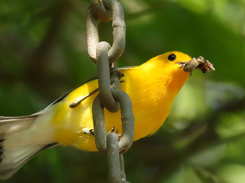 Prothonotary Warbler with a Spider