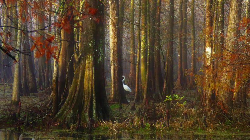 Great White Egret in Cypress Grove